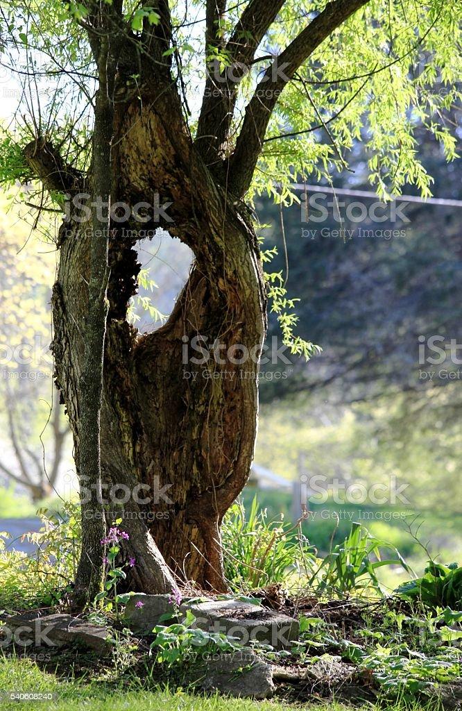 Hole in Tree stock photo