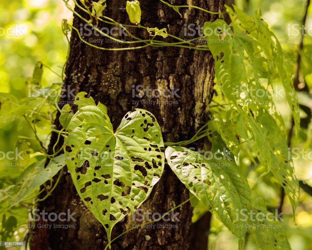 Holey heart leave potato vine climbing oak tree stock photo