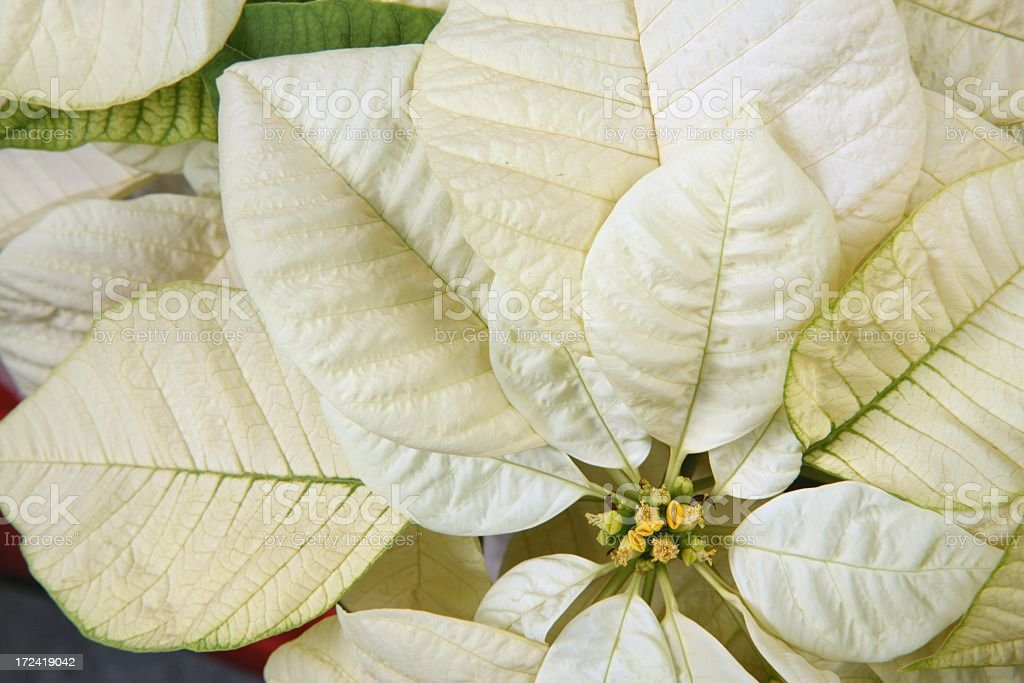 Holiday: Cream Colored Poinsettia royalty-free stock photo