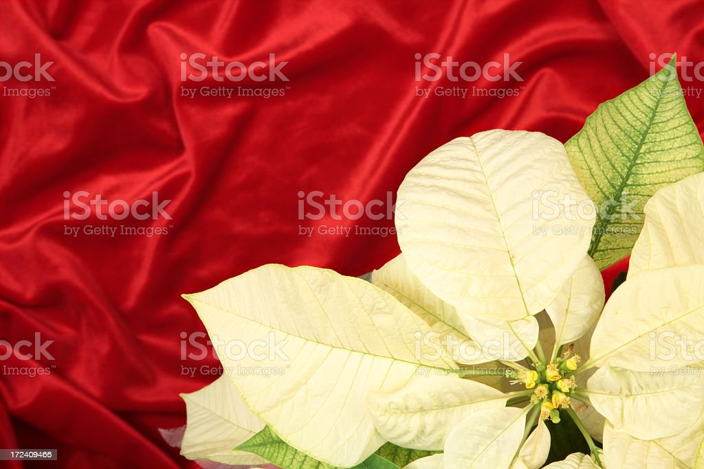 Holiday: cream colored Pointsettia on Red velvet royalty-free stock photo