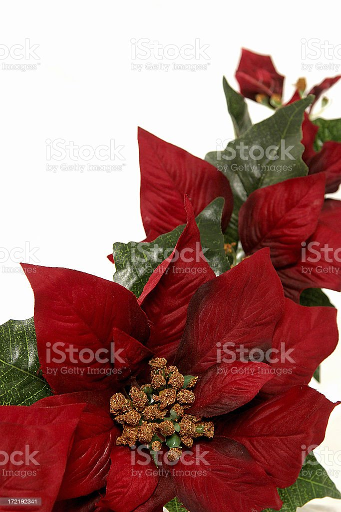 Holiday Poinsetta royalty-free stock photo
