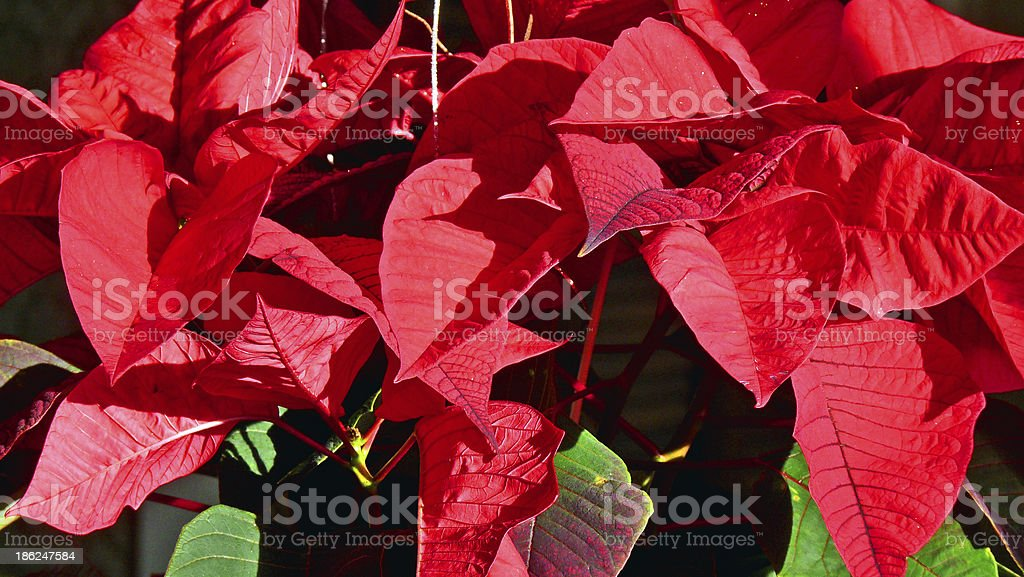 Holiday Poinsettias royalty-free stock photo