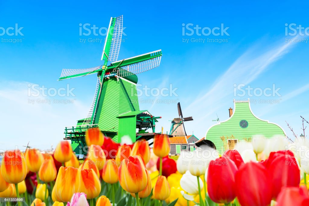 Holland background panorama with tulips and green windmill in traditional village in Holland stock photo