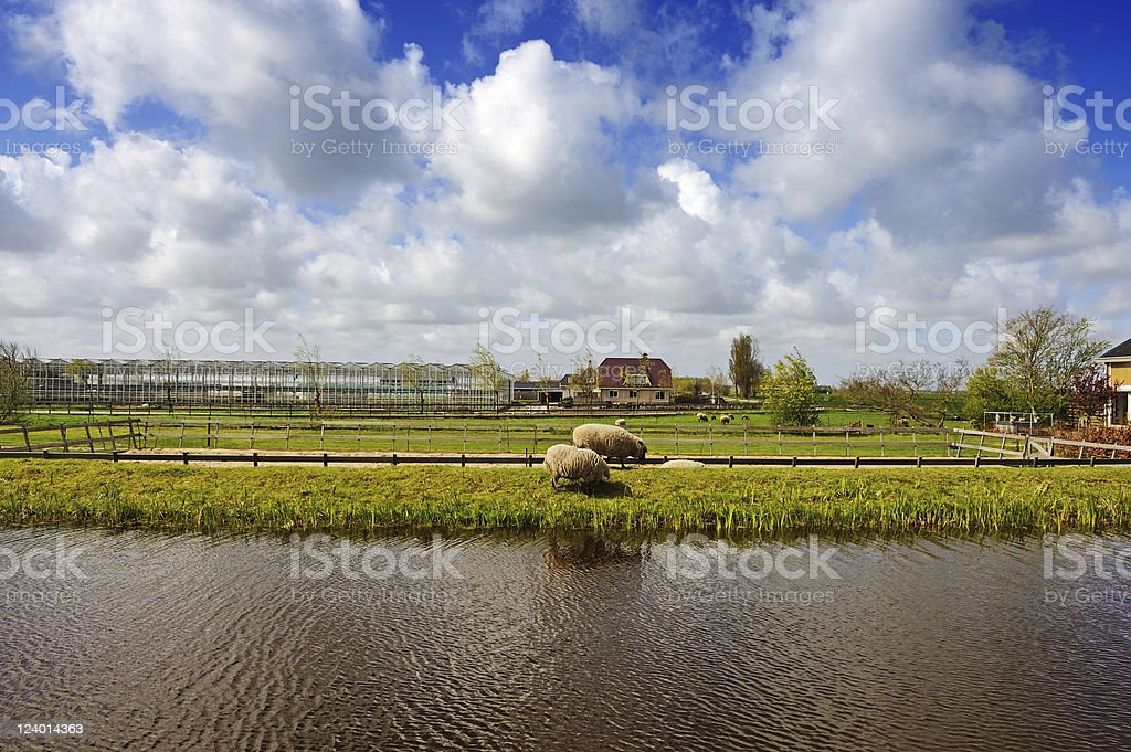 Holland Idyllic Scene With Sheeps royalty-free stock photo