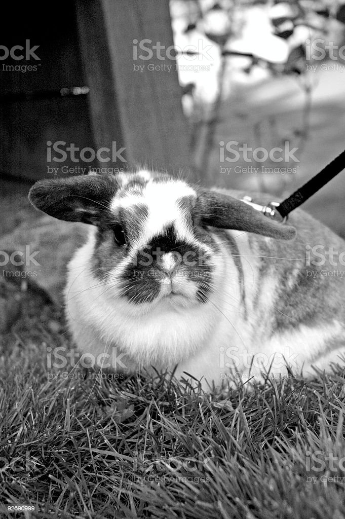 Holland Lop Bunny stock photo