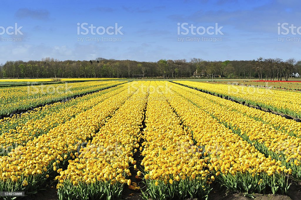 Holland Yellow Tulip Fields Spring stock photo