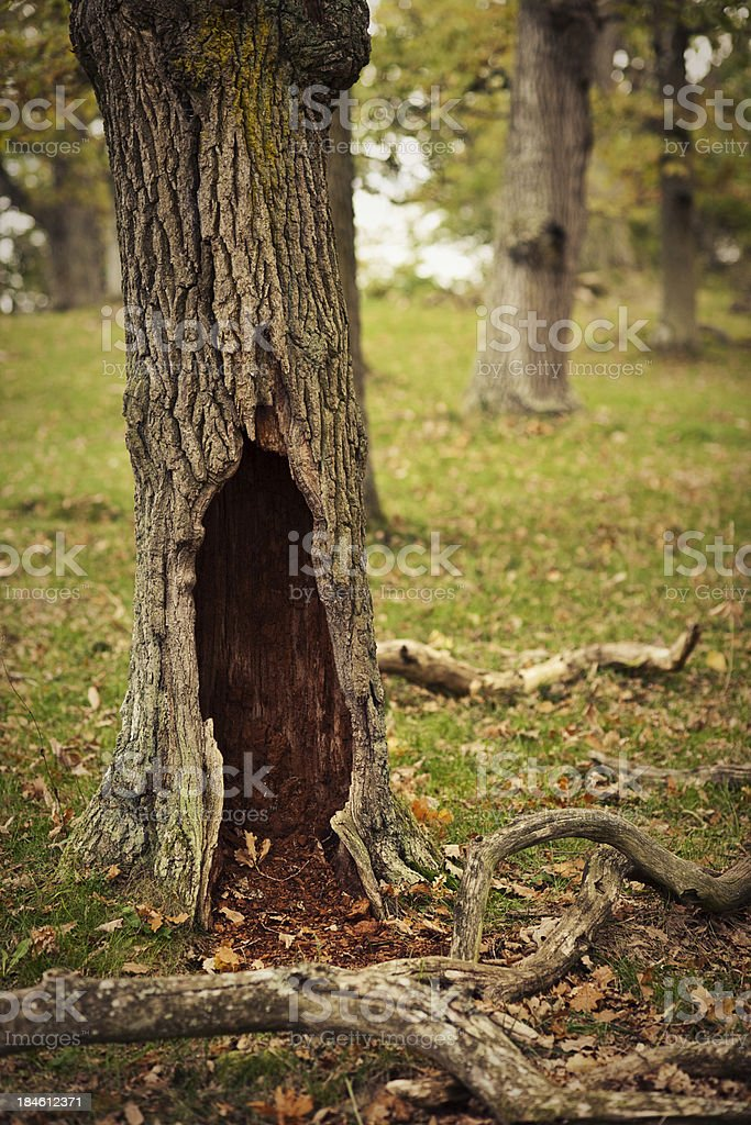 Hollow tree royalty-free stock photo