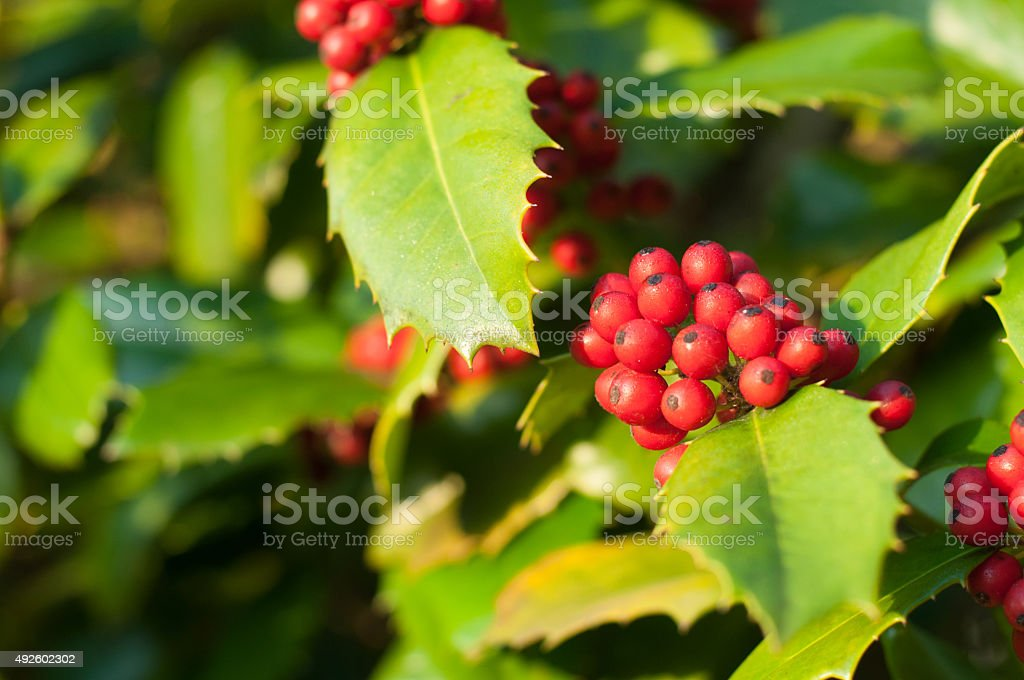 Holly - a sign of winter / holidays stock photo