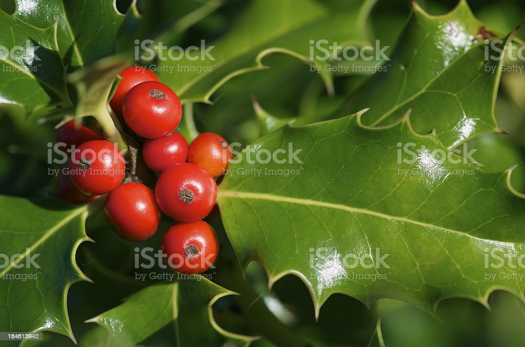 Holly Berries and Shiny Green Leaves Close Up royalty-free stock photo