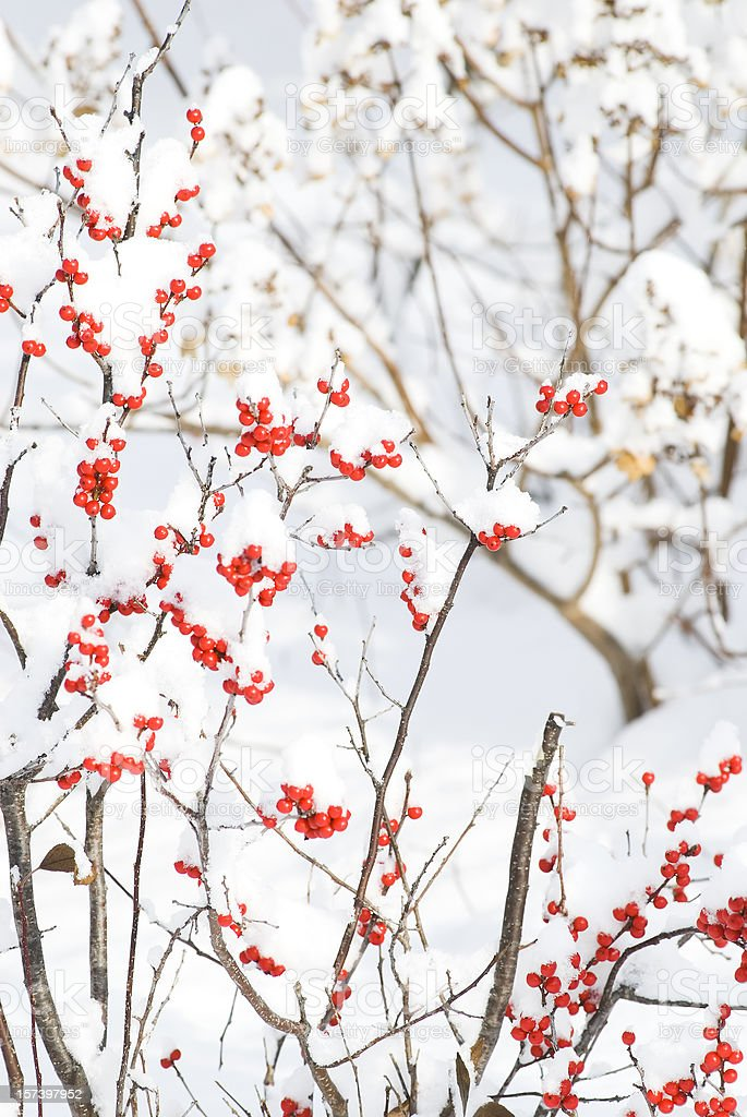 Holly berries (Winterberry) in the winter stock photo