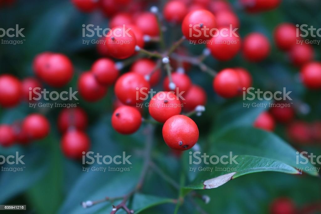 Holly Berries stock photo