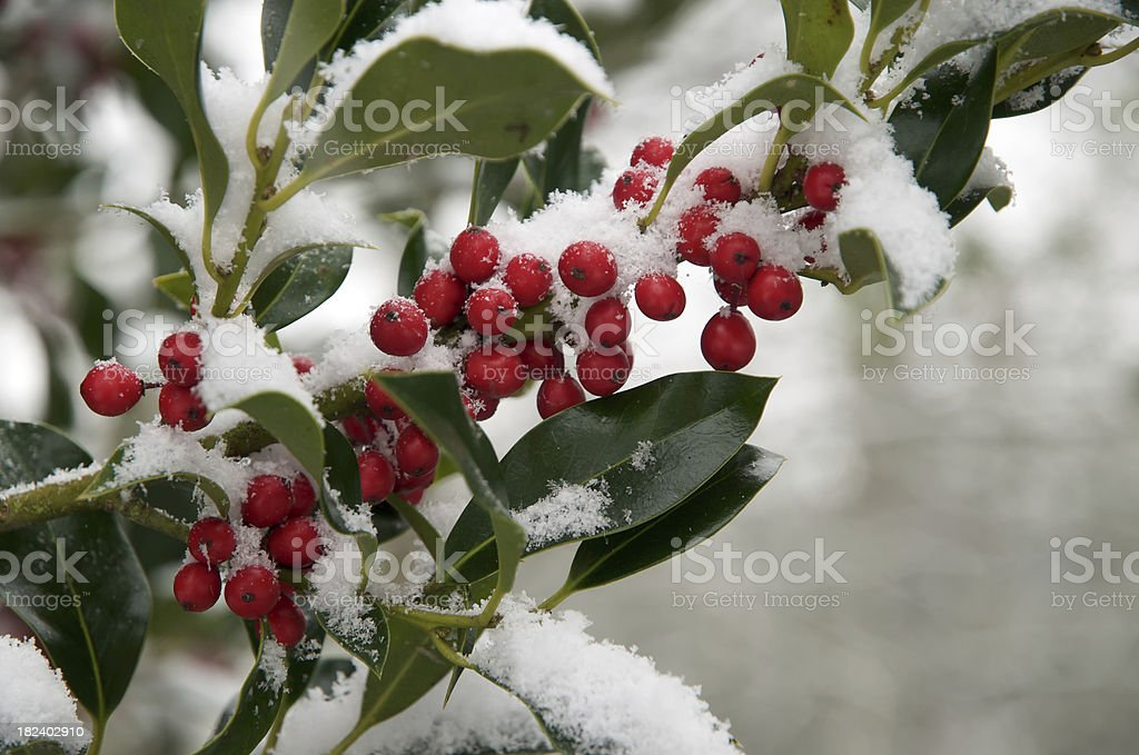 Holly Berries with a Dusting of Snow stock photo