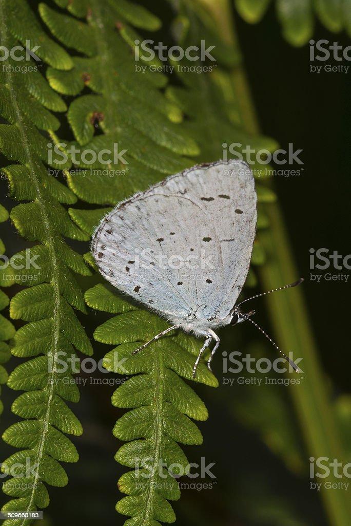 Holly Blue butterfly - Celastrina argiolus royalty-free stock photo