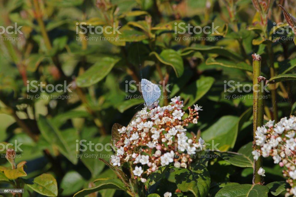 Holly blue butterfly Latin name celastrina argiolus feeding on a viburnum bush or flower caprifoliaceae in springtime in Italy stock photo