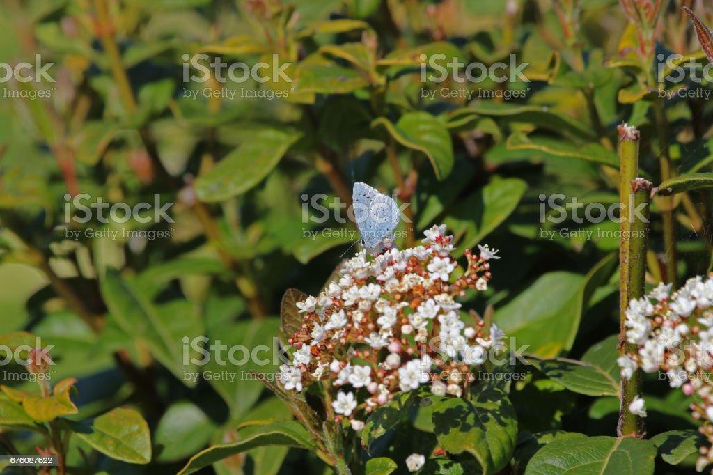 Holly blue butterfly Latin name celastrina argiolus feeding on a viburnum bush or flower caprifoliaceae or laurus tinus or laurustinus in springtime in Italy stock photo