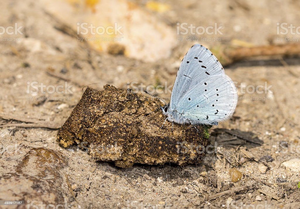 Holly Blue Butterfly royalty-free stock photo
