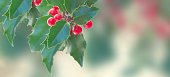 Holly branch on gray background