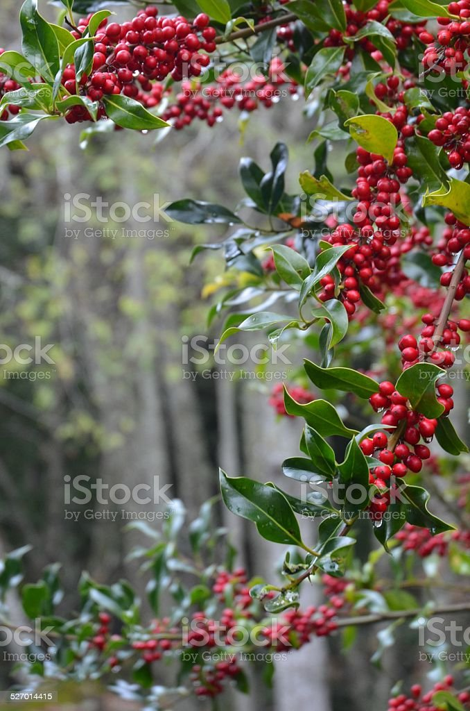 Holly Christmas Background royalty-free stock photo