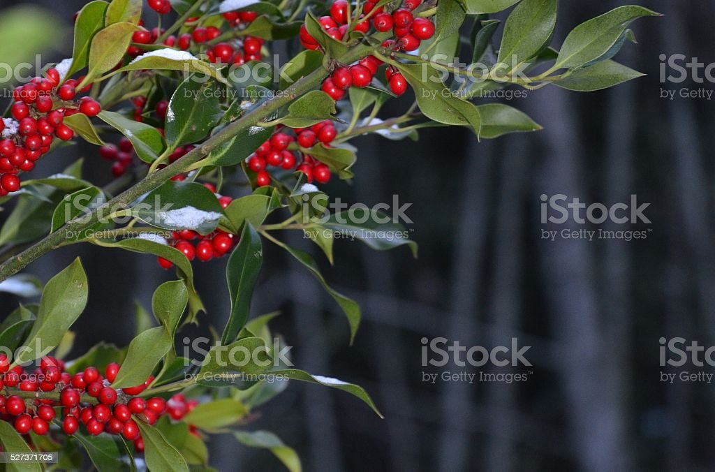Holly Christmas Background with Snow royalty-free stock photo