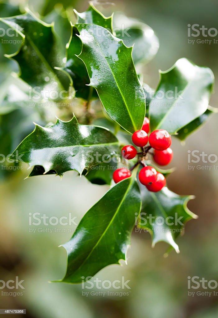 Holly - christmas plant stock photo
