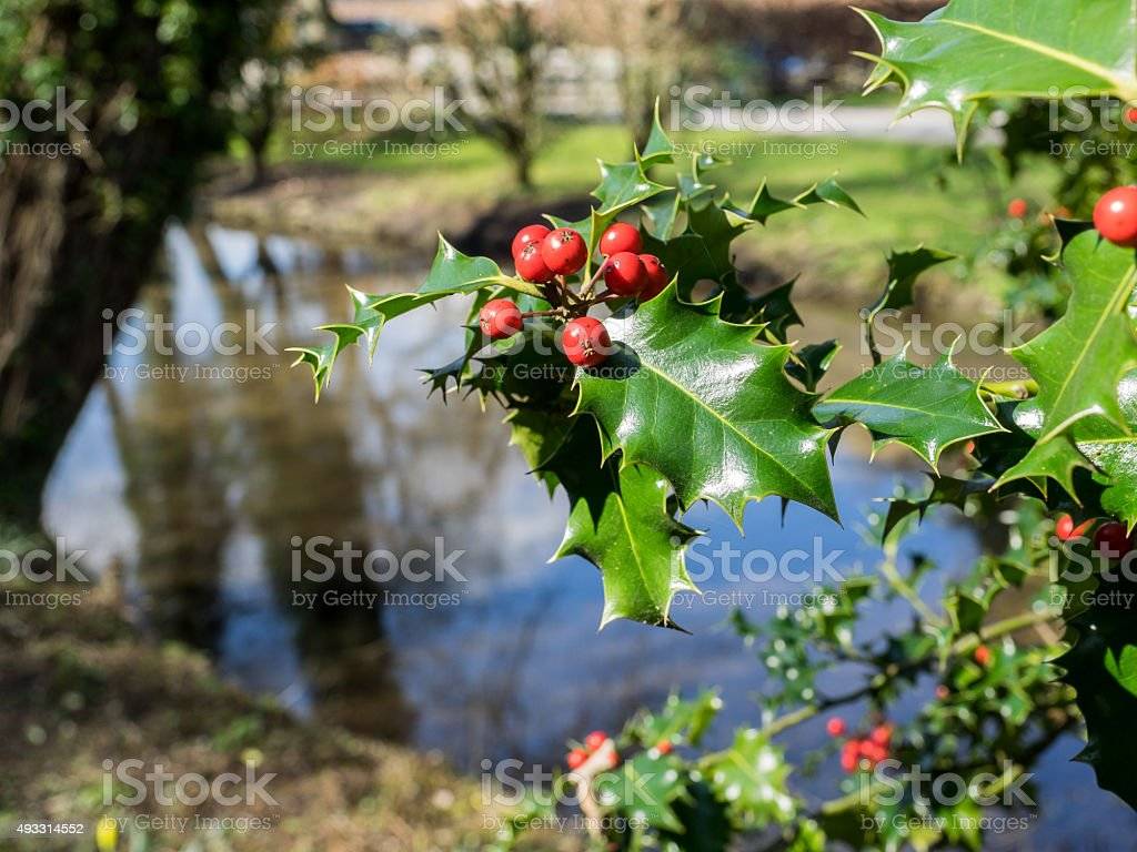 Holly leaf and berries stock photo