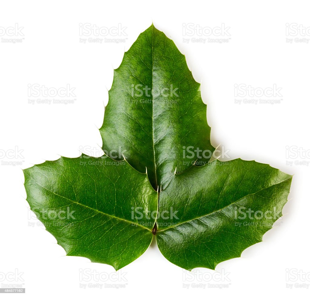 Holly leaves stock photo