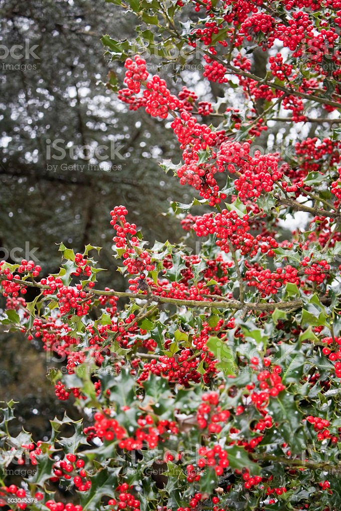 Holly outdoors, red berries. stock photo