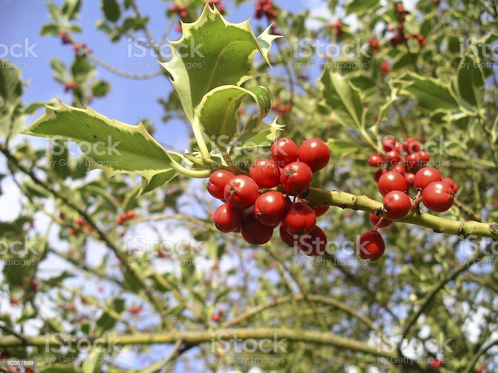 Holly stock photo