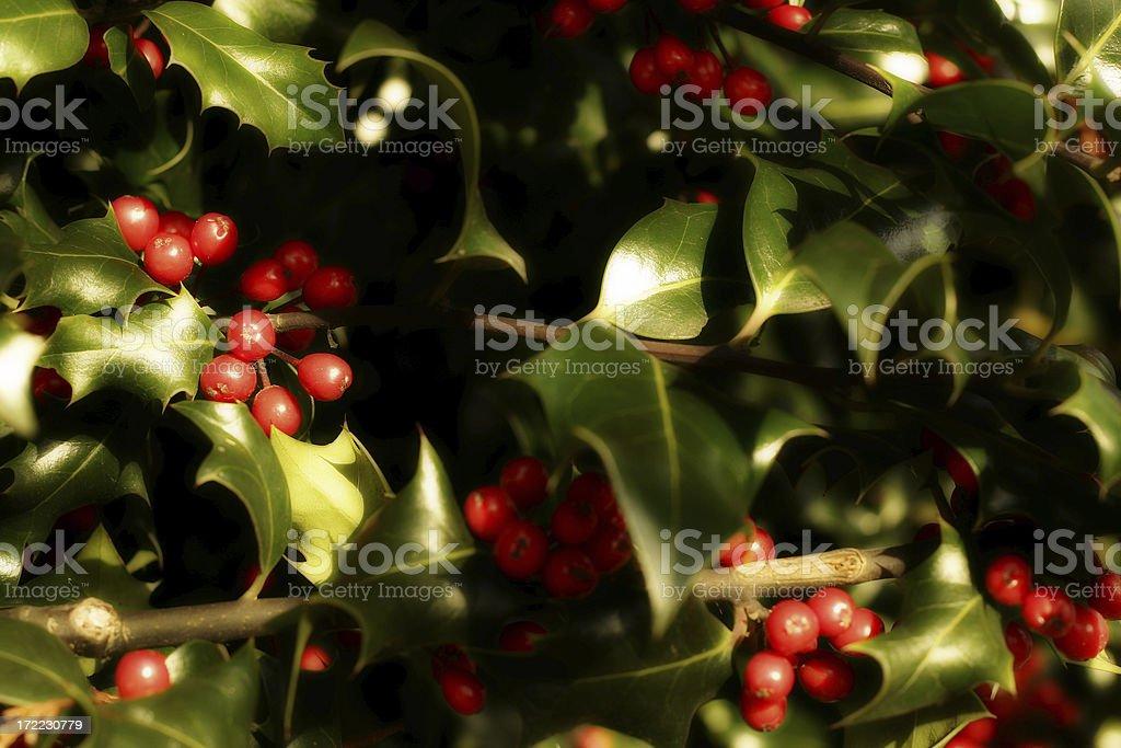 Holly Tree royalty-free stock photo