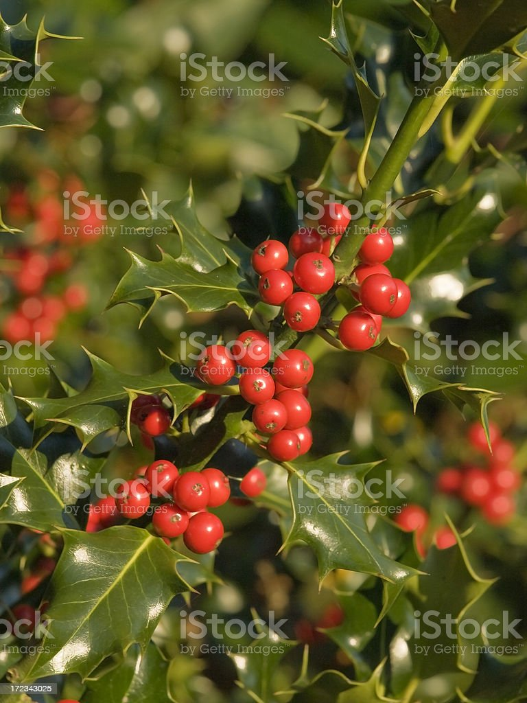 holly tree royalty-free stock photo