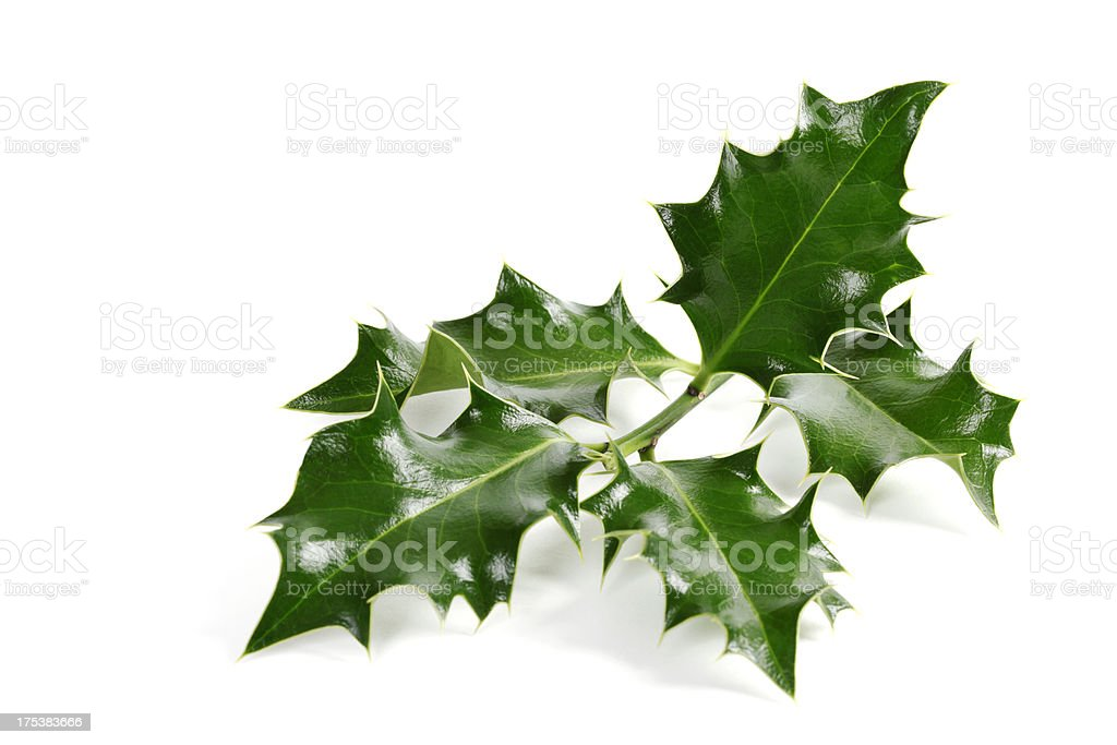 Holly Twig, Isolated on White stock photo