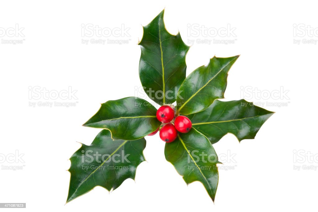 Holly with Clipping Path (XXL) stock photo