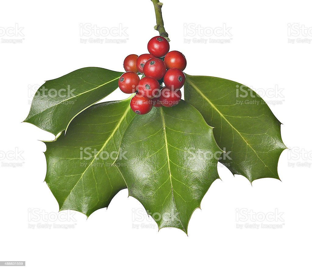 holly with red berries stock photo