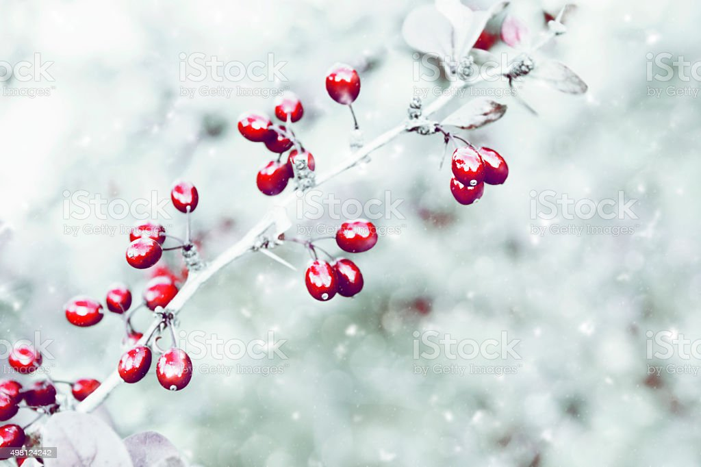 Holly with snow on grey background stock photo