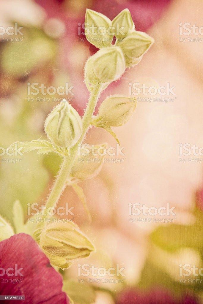 Hollyhock Flower Buds royalty-free stock photo