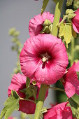 Hollyhock Flowers in a Garden
