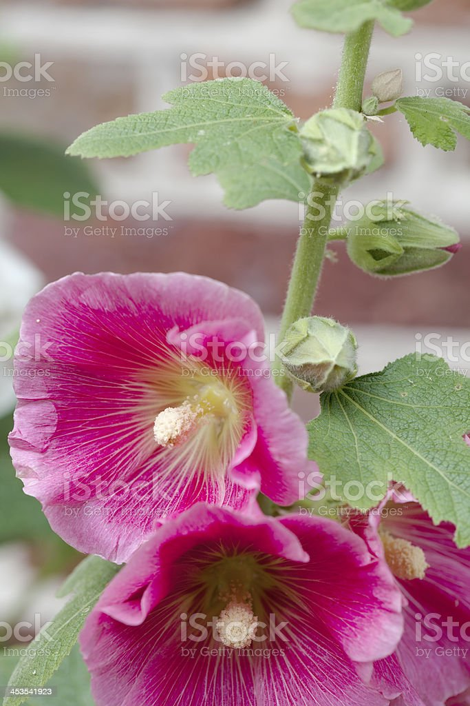 Hollyhock (Alcea rosea) royalty-free stock photo