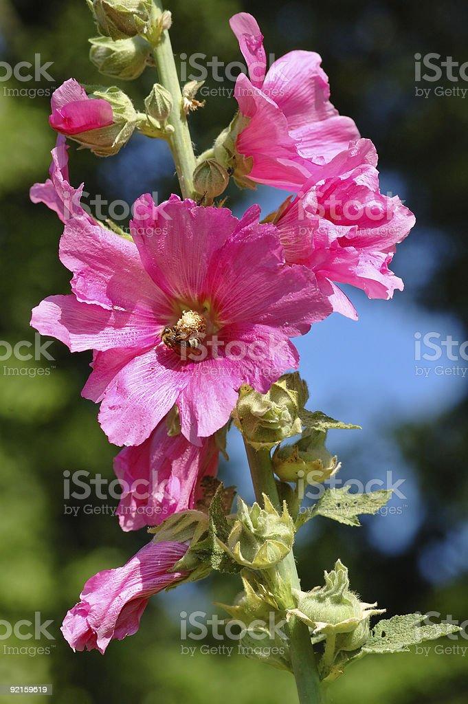 Hollyhock rose royalty-free stock photo