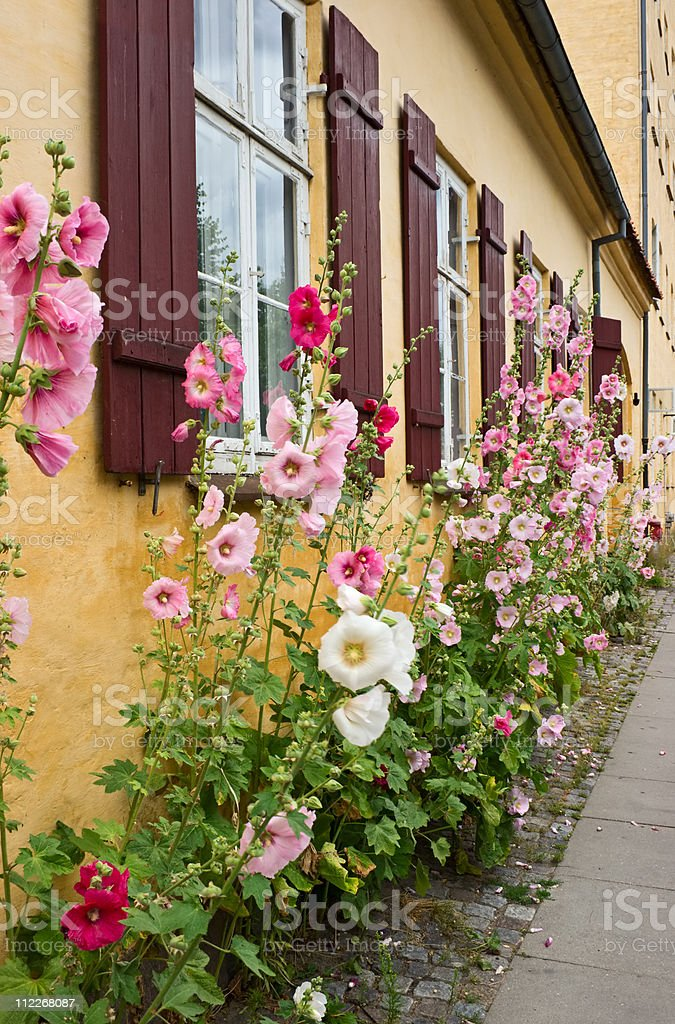 Hollyhock under windows stock photo