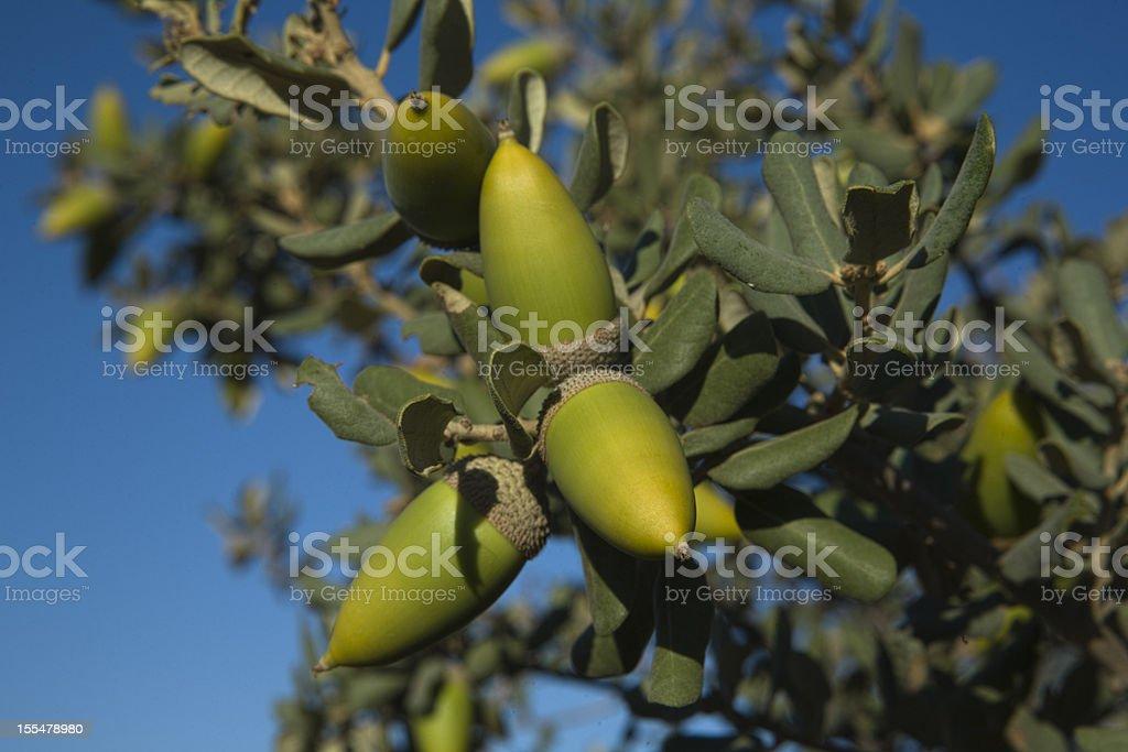 holm acorn stock photo
