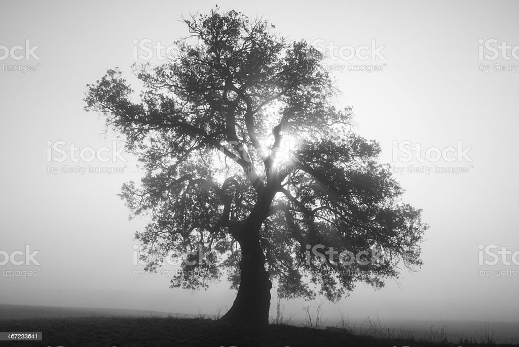 Holm oak, fog and the sun, Catalan Pre-Pyrenees stock photo