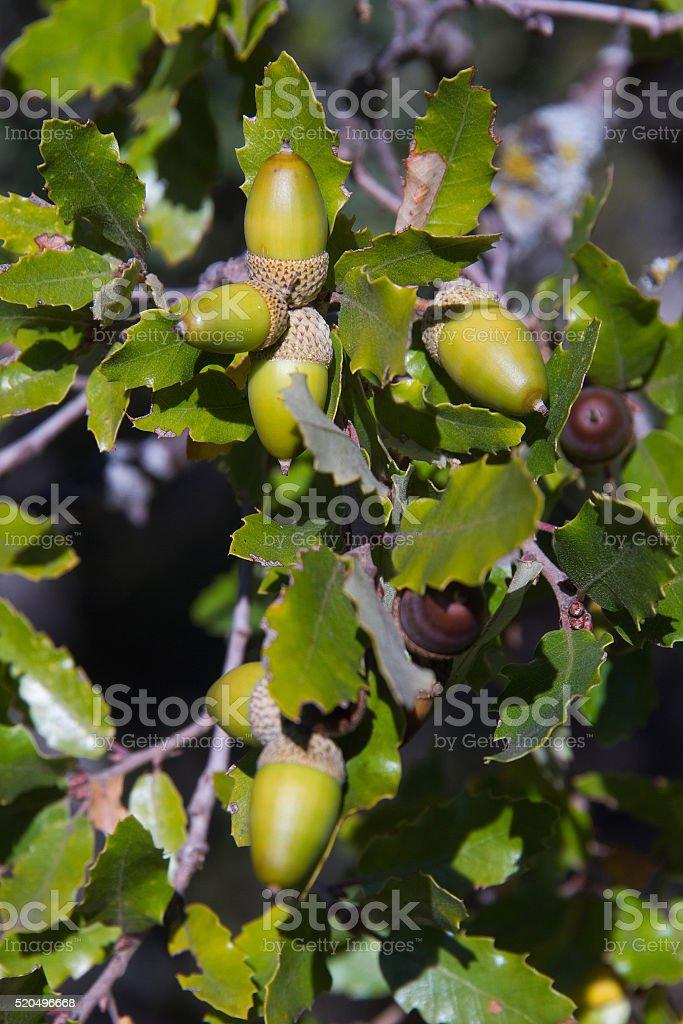 Holm oak Tree Acorn- Bellotas de Encina stock photo