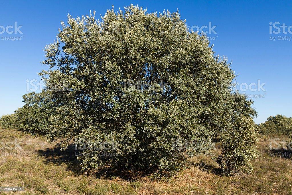 Holm Oak ( Quercus ilex )  tree - Arbol Encina stock photo