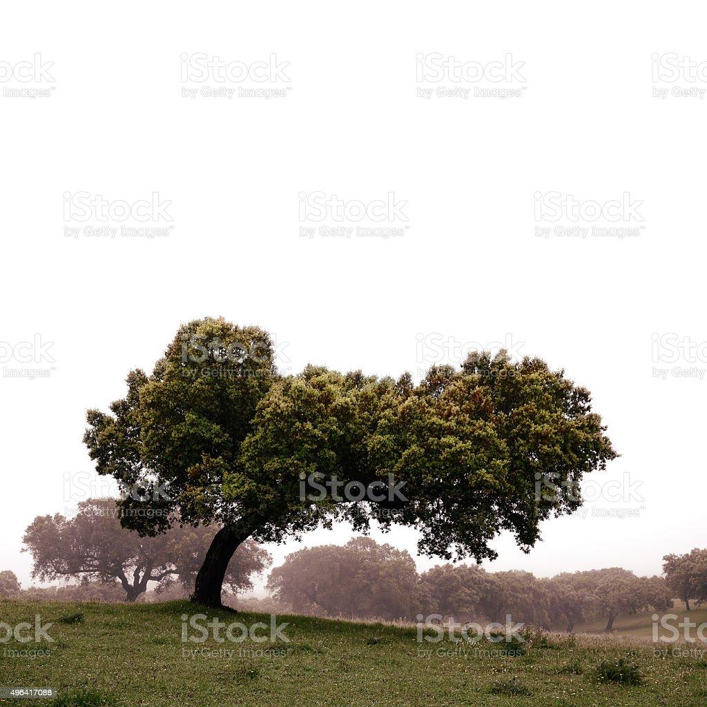 holm oak tree - square stock photo