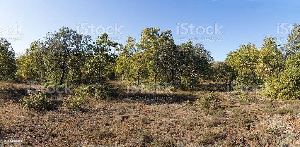 Holm Oaks Forest - Bosque de Encinas stock photo