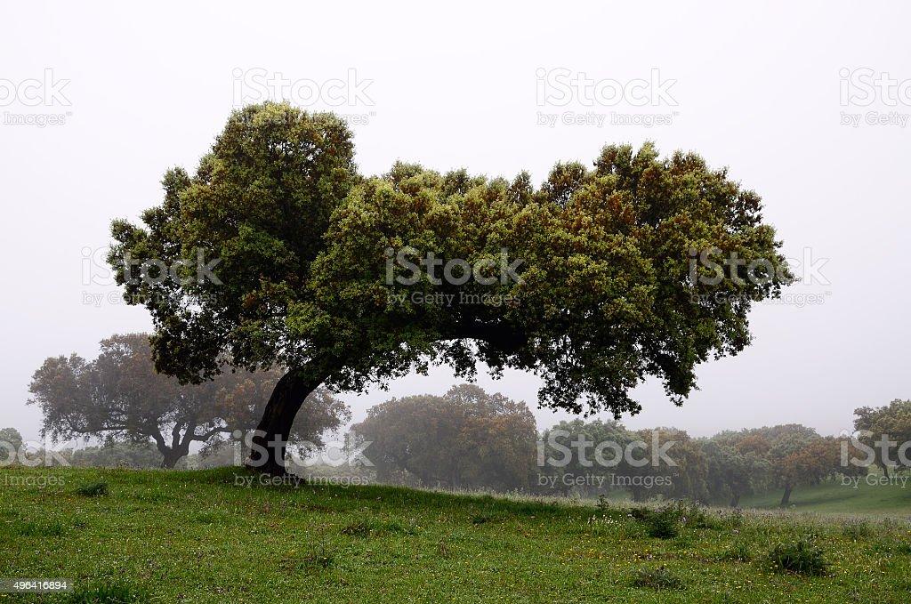 holm oaks trees - horizontal stock photo