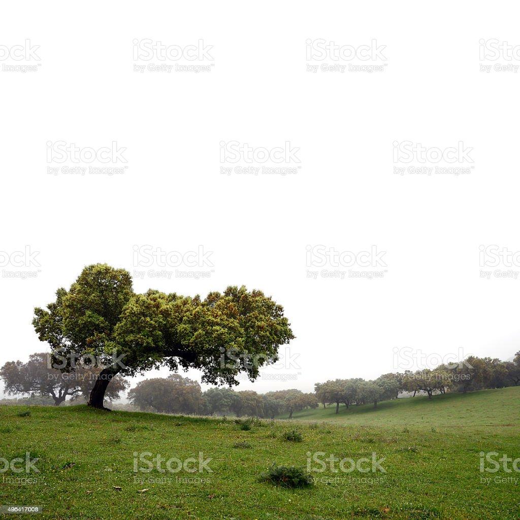 holm oaks trees - square stock photo