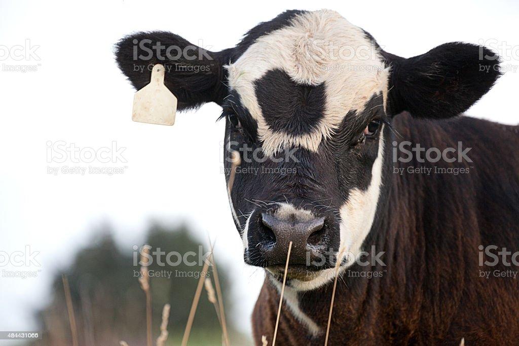 Holstein Angus Cross Calf Standing in Grassy Pasture stock photo