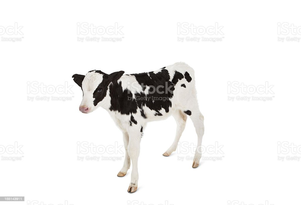 Holstein Calf Looking at Camera on a White Background. stock photo