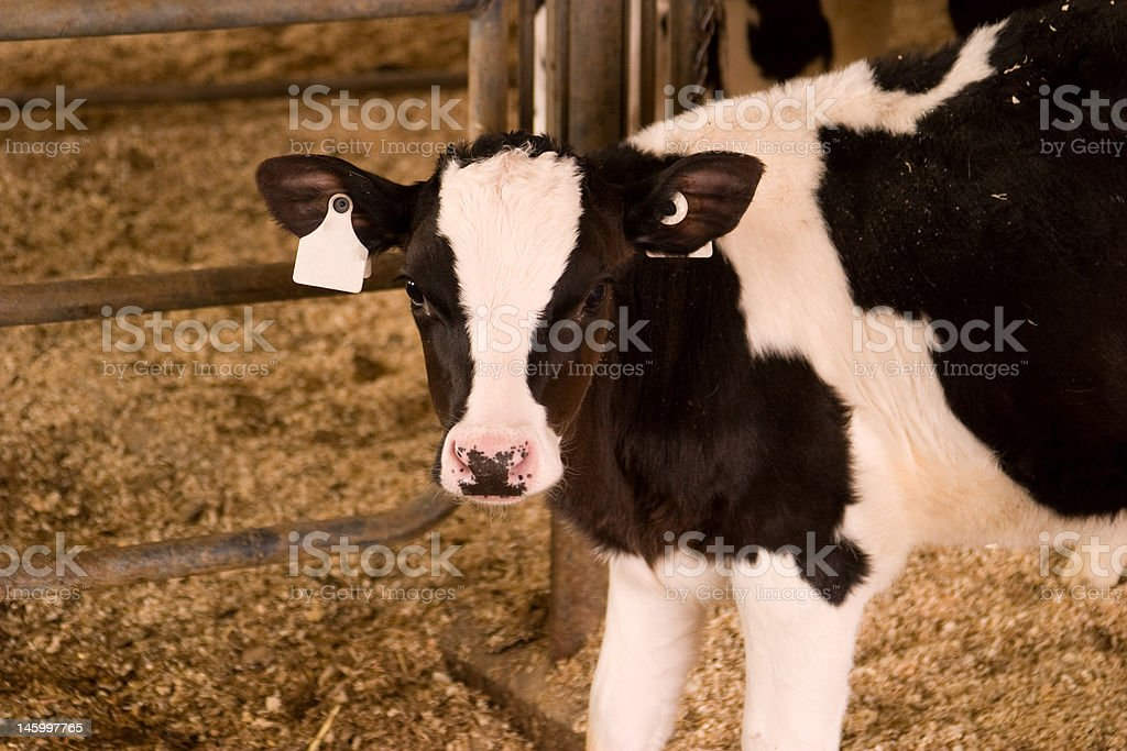 Holstein Calf royalty-free stock photo